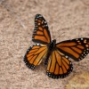 a monarch butterfly on the beach in michigan